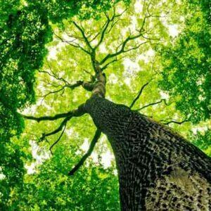 עץ הבלזה